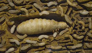 termit reina
